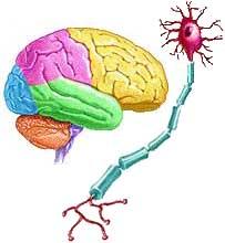 5brain-nerve